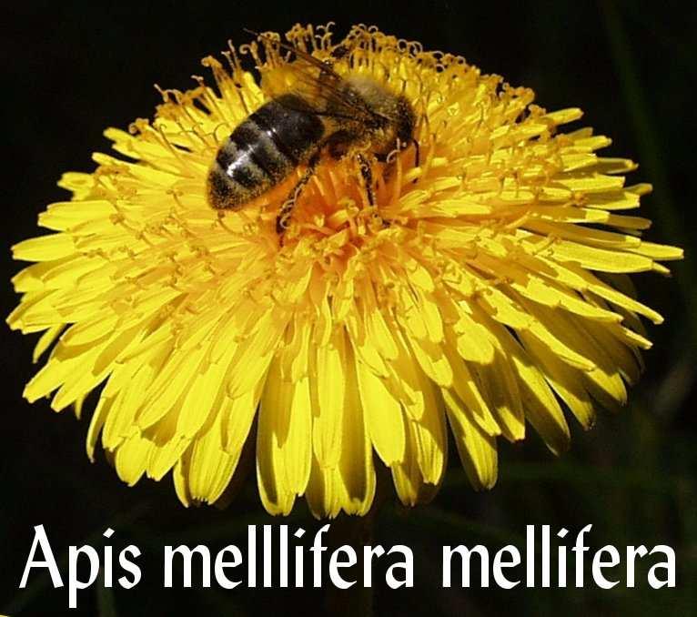 گونه زنبور عسل معمولی- apis mellifera